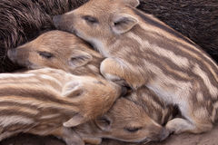 WILD BOAR FAMILY. A family of wild boar including stripey piglets in a sanctuary in the new forest Royalty Free Stock Photo
