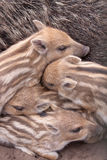 WILD BOAR FAMILY. A family of wild boar including stripey piglets in a sanctuary in the new forest Stock Images