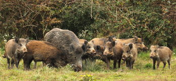 Wild boar family Stock Photos