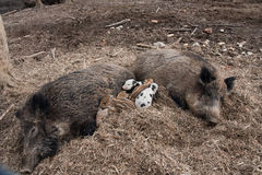 Wild boar family Royalty Free Stock Photo