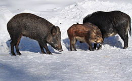 Wild-boar family Stock Photos
