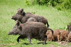 Wild boar family Stock Photo