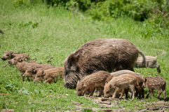 Wild boar family Royalty Free Stock Images