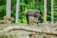 Wild boar family, adult and two little striped piglets, walking in a forest stock photos