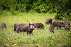 Wild boar family Royalty Free Stock Photography
