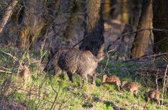 Wild boar family Royalty Free Stock Photos