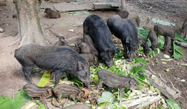 Wild boar family Royalty Free Stock Photos