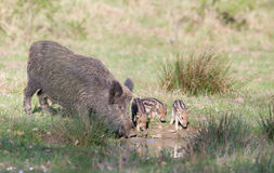 Wild boar family Stock Photography