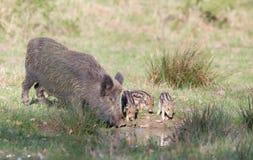 Wild boar family Stock Photography