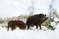 Wild boar family in winter Stock Image