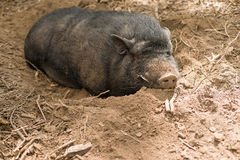 The wild boar with fangs lying in the dirt Royalty Free Stock Photo