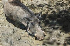 Wild boar with fangs in the mud. Big wild boar with fangs in the mud stock photography