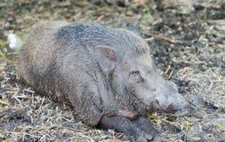 Wild boar in farm Royalty Free Stock Photo