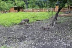 Wild boar farm Stock Image