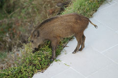 Wild boar female Royalty Free Stock Images