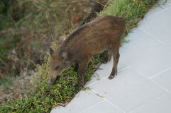 Wild boar female Royalty Free Stock Photo