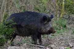 Wild boar female in the forest Royalty Free Stock Image