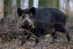 Wild boar female in the forest. Spring,  sus scrofa Stock Image