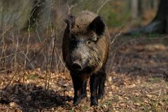 Wild boar female in the forest, spring. Sus scrofa Royalty Free Stock Photos