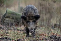 Wild boar female in the forest. Autumn, sus scrofa Stock Photography