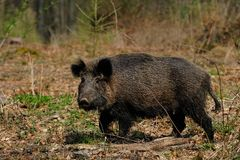 Wild boar female in the forest. Spring,  sus scrofa Royalty Free Stock Image