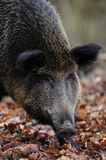 Wild boar female head portrait, autumn Royalty Free Stock Images