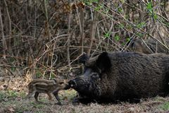 Wild boar female with piglet. In the forest, spring,  sus scrofa Royalty Free Stock Photography