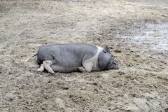 Wild boar. Female wild boar resting after feeding calves Royalty Free Stock Photos