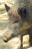 Wild boar female (Sus scrofa). Wild boar female, portrait and close up (Sus scrofa Stock Images