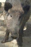 Wild boar female (Sus scrofa). Wild boar female, portrait and close up (Sus scrofa Royalty Free Stock Photos