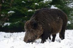 Wild boar female in the winter forest. Sus scrofa Royalty Free Stock Photo