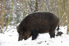 Wild boar female in the winter forest. Sus scrofa Stock Photography