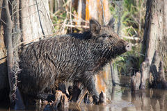 Wild boar. Feral Pig in Louisiana Swamp Royalty Free Stock Photos