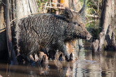 Wild boar. Feral Pig in Louisiana Swamp Royalty Free Stock Images