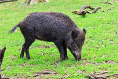 Wild boar in a field Royalty Free Stock Image