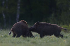 Wild boar fight Stock Photos
