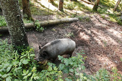 Wild boar. Foraging for acorns along a forest path Royalty Free Stock Image