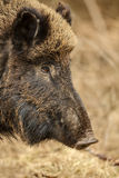 Wild boar sow Royalty Free Stock Photos