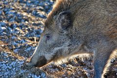 Wild boar foraging for food. On a frosty field in winter Royalty Free Stock Images
