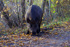 Wild boar foraging in forest Stock Photos