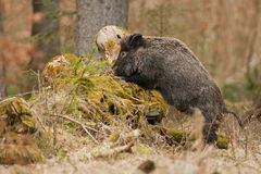 Wild boar foraging in old tree Royalty Free Stock Photos
