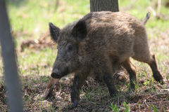 Wild boar in forest. Young wild boar in forest in movement Royalty Free Stock Photography