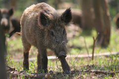 Wild boar in forest Royalty Free Stock Photos