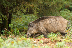 Wild boar in the forest Royalty Free Stock Photo