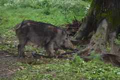 Wild boar. In the forest Stock Photography
