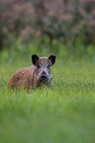 Wild boar in the forest Stock Images