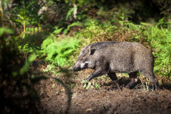 Wild boar in the forest. Stock Image