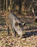 Wild boar at the forest. Royalty Free Stock Images