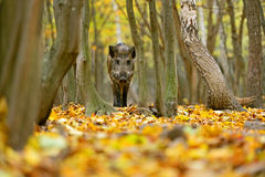 Wild boar. In the forest in autumn Stock Photos