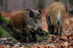 Wild boar in the forest, autumn. Sus scrofa Stock Photo